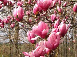 1 Saucer Magnolia- Magnolia soulangana image 1