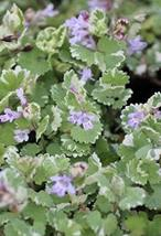 Creeping Charlie Variegated Glechoma Hederacea Variegated Live Plant - 4... - $4.99