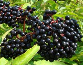 "1 American Sambucus Black Bearing Elderberry Tree 6-12"" Tall Fruit Plants - $74.00"