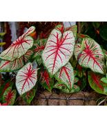 Caladium Flowers Seeds 100PCS Araceae Elephant Ear Heart of Jesus Angel ... - $7.99