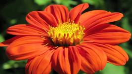 Buy Red color Tithonia Flower Seeds/ Mexican Sunflower (Tithonia Rotundifolia)  - $3.99