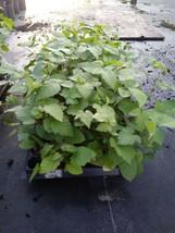 1 Triple Crown Thornless Blackberry Plant For Home Garden  - $23.79