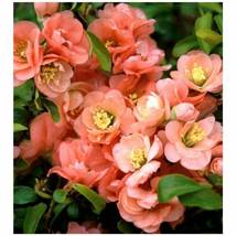 Established Rooted Cameo Flowering Quince 1 Plant 1 Gallon Pot - $58.99