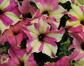 200 pcs Very Lovely Petunia Sophistica Lime Bicolor Flower Seeds - $19.90