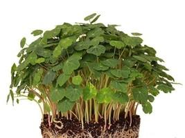 5 Variety Spicy Vegetable Nasturtium Alaska Microgreen Fresh Seeds #TLM1 - $19.99+
