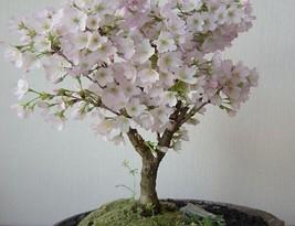 Best Price 20 Seeds Oriental Cherry Sakura Bonsai,Diy Flower Seeds TS132 Dg - $5.25
