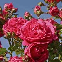 """4"""" Pot - Climbing Laguna Rose - Vigorous and Fragrant - Gardening - £41.55 GBP"""