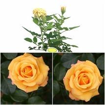 """Parade Kyo Miniature Rose Bush - Fragrant/Hardy - 2.5"""" Pot - Home Garden - $37.99"""