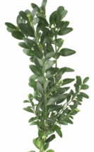 """3 Plants in 2.5"""" Pots - Titan Boxwood - Established Rooted Evergreen - G... - $81.99"""