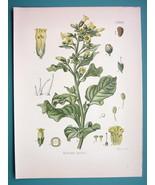 SACRED TOBACCO Medicinal Nicotiana Rustica - Beautiful COLOR Botanical P... - $26.01