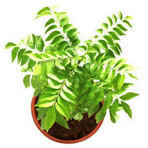 ceylon Curry Leaves Seeds, Murraya koenigii Seeds,kari Leaf Seeds, ceylo... - $5.99