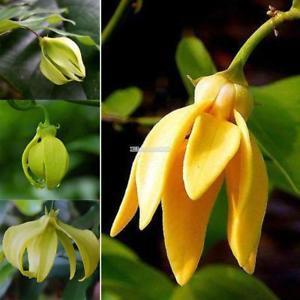 New Nice Adorable Blume duftenden Blüten Eagle Claw Blumensamen ElR8