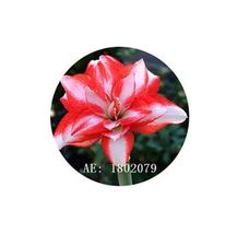 HAPPY FLOWER 2 Bulbs KIDUL DALEM True Hippeastrum Rutilum Amaryllis Love... - $1.79