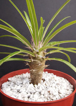 "SHIP From US, 4"" pot Pachypodium geayi, succulent plant cacti ECC - $44.99"
