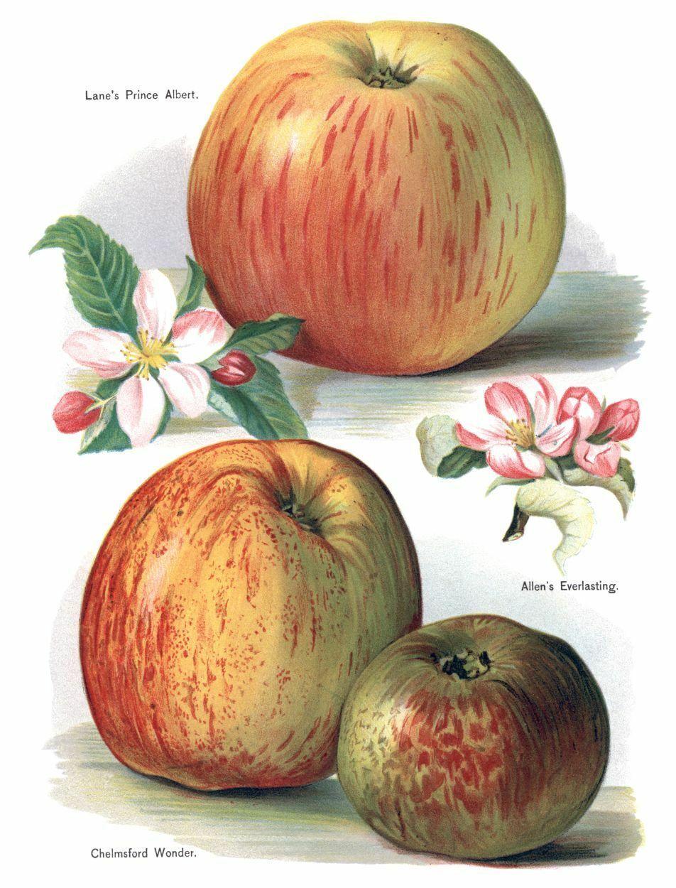 Vintage Fruit Prints: Chelmsford Wonder - Fruit Growers Guide - 1880 - $12.82 - $19.75