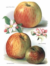 Vintage Fruit Prints: Chelmsford Wonder - Fruit Growers Guide - 1880 - $12.95+