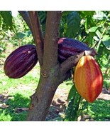 SHIP FROM US Cacao Cocoa Chocolate Fruit Tree 3'-4' Tall TPE3 - $178.48