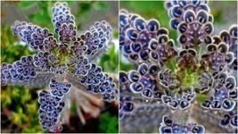 179 - 50 Rare Dark Blue Kalanchoe Seeds Succulent Flower Seed Flowers – RR01 - $21.95