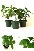 Arabica Coffee Plant Pot 3 Set 3in x 4in Pack of 3 Best GIft Indoors Lon... - €26,12 EUR