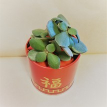 """Jade Plant in Red Gold Tin, 3"""" Planter Succulent Crassula ovata Chinese New Year image 3"""
