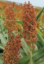 SHIP FROM US 0.5 Ounce Seeds Rox Orange Sugar Cane,DIY Plant Seeds RM - $14.99