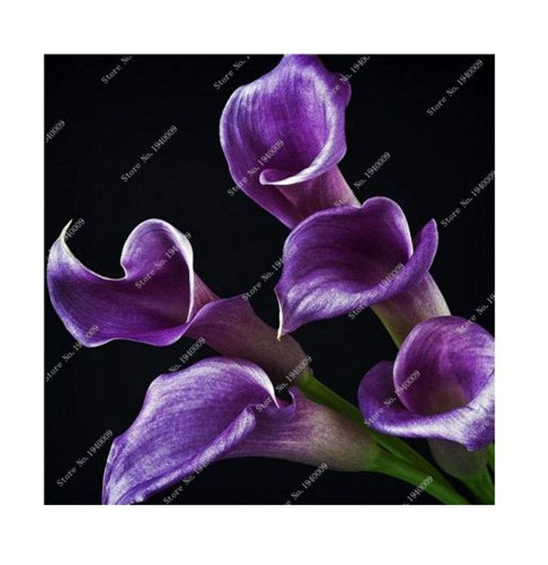 HAPPY FLOWER 2 Bulbs True DARK PURPLE Calla Lily Flower Zantedeschia Love Symbol