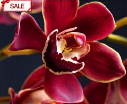 50flores/lot Crimson Phalaenopsis Bonsai Perennial FloweringPlants Orchi... - $2.79