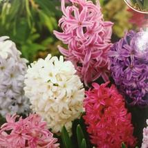 Hyacinth Mix 3 bulbs image 1