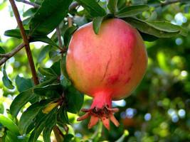 3 Variety Tasty Edible Fruit Pomegranate Punica Granatum Tree Seeds #SMA53 - $15.99+