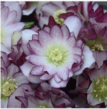 "Lenton Rose Hellebore Blushing Bridesmaid Wedding Party 4"" Pot Zones 5-9... - $33.66"