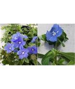 664 - Blue Daze Evolvulus glomeratus, Starter Plant, Lot of 2 – RR07 - $33.95