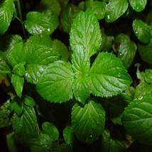 100Pcs Peppermint Herb Seeds Mentha Piperita Seed Wonderfully Fragrant - $19.27