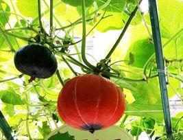8 Red Pumpkin Seeds Red Lantern Shape Cucurbita Organic Vegetables  - $13.58
