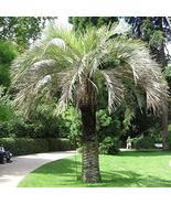 Jelly Palm, (Pindo Palm), Butia Capitata, 4 Tree Seeds (Showy, Edible Fr... - $6.91