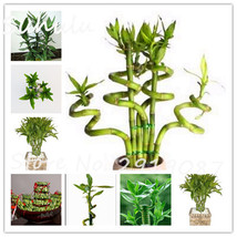 Rare Lucky Bamboo Palm Seeds 30 Pcs Lady Palm Indoor Bonsai Plants Rhapi... - $3.90