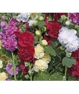 Dwarf Hollyhock Queeny Mix 60 SEEDS Alcea Rosea NON-GMO Open Pollinated - $4.99