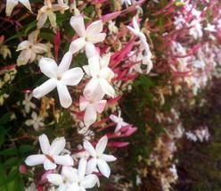 1 Jasminum Polyanthum Pink Jasmine Vine Live Plant Size 2 inch pot - $38.50