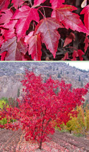 Flame Amur Maple, Acer ginnala Flame, 100 Tree Seeds (Fall Color, Hardy, Bonsai) - $13.99