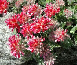 100 Bulk Seeds Anthyllis Red Carpet Vulneraria, DIY Decorative Plant ov04 - $36.70