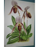Lindenia Orchid Print Limited Edition Cypripedium Selligerum Majus paphi... - $15.19