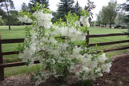 White Fringe tree quart pot image 3