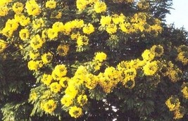 Gold Medallion, Huge Gold Yellow Flowers, 10 Seeds! - $14.35