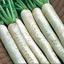 Radish Seed,Japanese Minowase, Diakon, Heirloom, Non GMO, 25 Seeds - $2.99