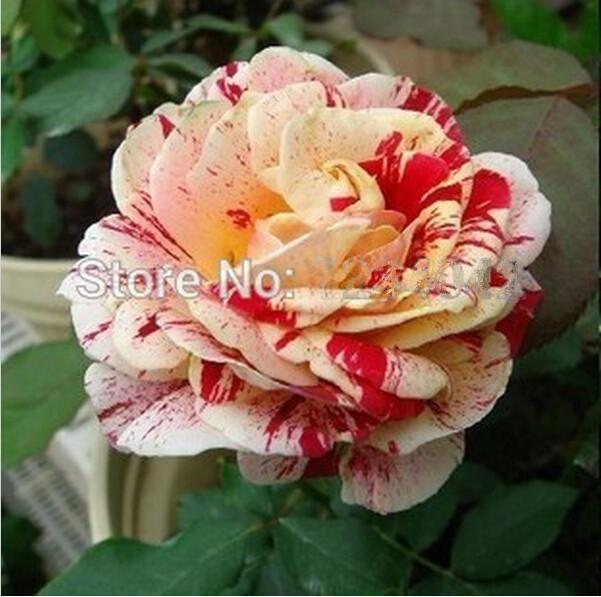 Flower seeds 200PC spots rose seeds, rare bush bonsai plants Home & Garden