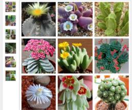 100 seltene bunte Sukkulente Sukkulenten Kaktus Samen Lotus Lithops - $3.68