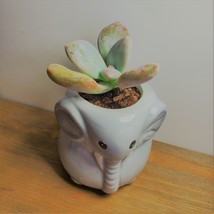 """Elephant Pot with Succulent, Live Plant in Grey Ceramic Planter 2"""" image 2"""