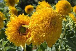 Sunflower Seed: Teddy Bear Sunflower Seeds Fresh Seed FREE Shipping - $11.98
