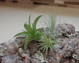 Mini Tillandsia Assortment 3 Pack Air Plants Fast Shipping Green Garden ... - $23.77