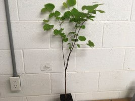 Eastern Red Bud quart pot (Cercis canadensis) image 2