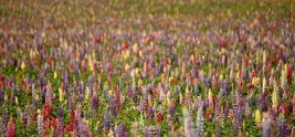 SHIPPED FROM US 7800 Rainbow Lupine Mix Seeds, ZG09 - $131.16
